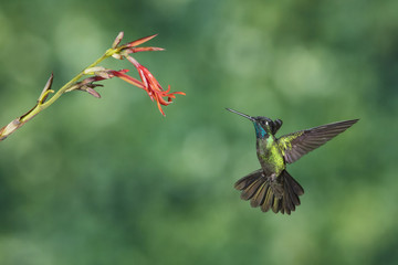 Hummingbird fly to the flower to eat nectar