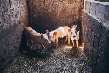 three baby pigs