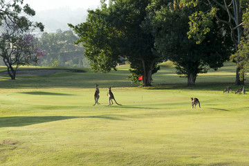 Two young kangaroos boxing on a golf course.