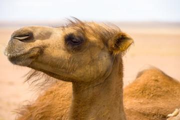 Closeup Hairy Face Bactrian Camel