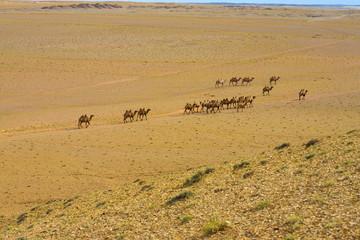 Double Hump Bactrian Camels Gobi Desert High Angle