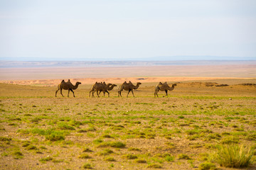 Herd Double Hump Bactrian Camels Row Gobi Desert