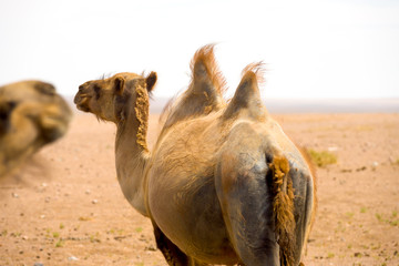 Rear Bactrian Double Hump Camel Gobi Desert