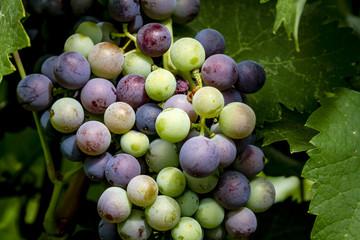 Wine grapes hanging in vineyard