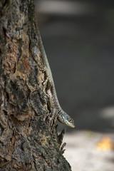Calango (Tropidurus oreadicus) | Amazon lava lizard photographed in Linhares, Espírito Santo - Southeast of Brazil. Atlantic Forest Biome.