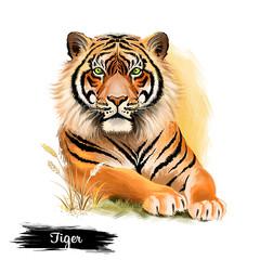 Tiger head isolated on white background digital art illustration. Wildlife safari animal, symbol of chinese horoscope, portrait of render predator, big angry striped cat, jungle mascot mammal