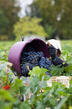 vigne vendange raisin