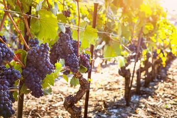 Bunch of ripe black grape, vine sunny autumn vineyards, harvest
