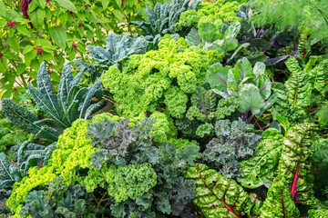 Vegetable garden with cabbage plants