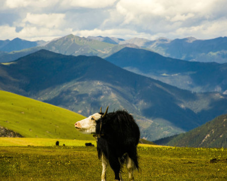 The yak on the meadow and boundless mountains, Western Sichuan Plateau, China