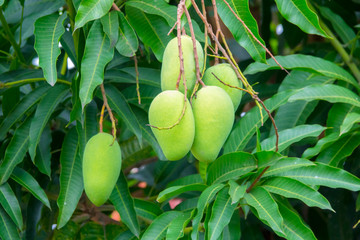 Green mangoes on tree with green leaves. Selective focus.