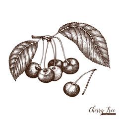 Vector cherry tree vintage skecth