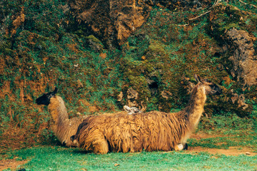 Llamas (Lama glama) resting with beautiful background made of brown rock and green grass.
