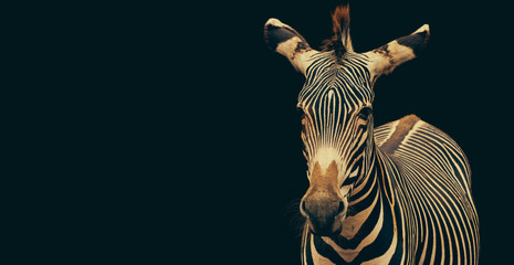 Zebra (Equus grevyi) portrait isolated on black background and copy space.