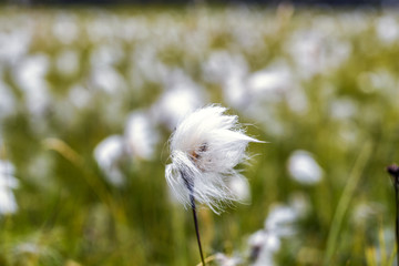 White cotton flower on background of others, cotton field, Iceland