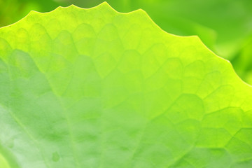 Wall Mural - close up of fresh lotus leaf as background.