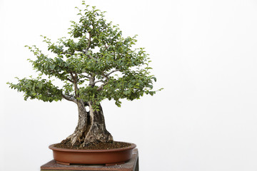 Ulmus communis bonsai on a wooden table and white background