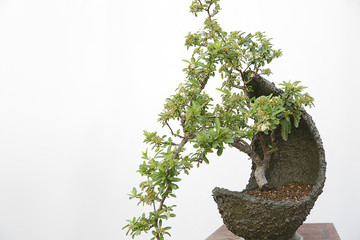Pyracantha coccinea bonsai on a wooden table and white background