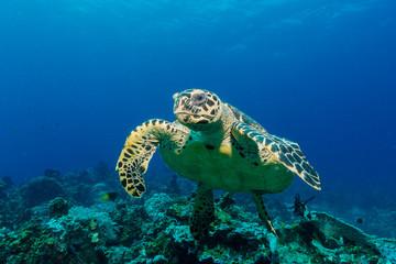 Schwimmende Meeresschildkröte