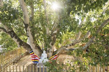 Buddha statue under a holy bodhi tree in Kandy, Sri Lanka
