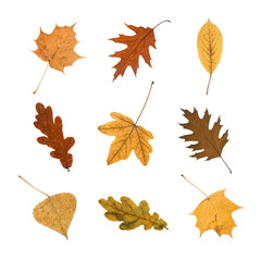 Set of Autumn Leaves isolated on white Background. A collection for your Fall Concepts