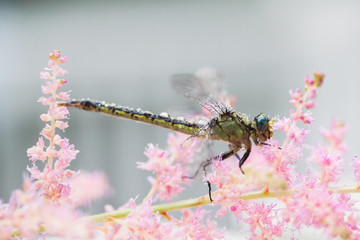 Dragonfly on Pink Astilbe Flowers