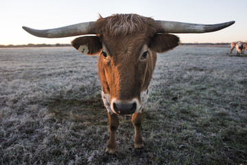 Texas Longhorns At Sunrise on Frosted Winter Grass