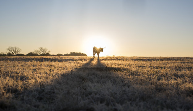Texas Longhorn Silhouetted  By Rising Sun