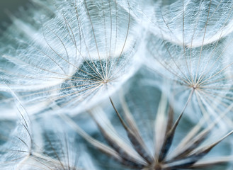 Photo sur Plexiglas Pissenlit natural backdrop of the fluffy seeds of the dandelion flower in a delicate sky blue colours