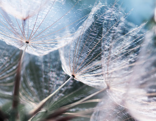 Photo sur Aluminium Pissenlit delicate natural backdrop of the fluffy seeds of the dandelion flower in soft blue tones