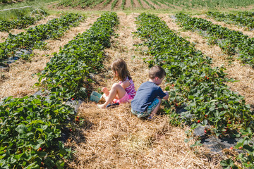 Two children picking strawberries together in a field