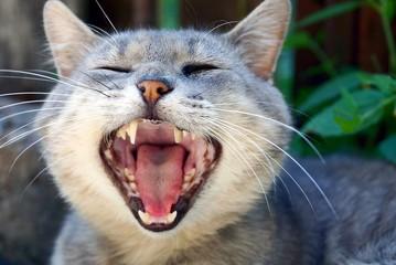 Серый кот с широко открытой пастью на улице