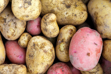 Background of freshly dug up yellow and red potatoes.