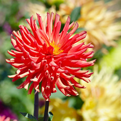 Wall Mural - Red large flower dahlia on flowerbed.