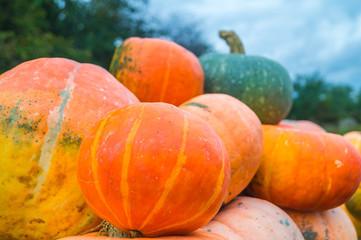 Autumn Pumpkin from the garden, outdoors.