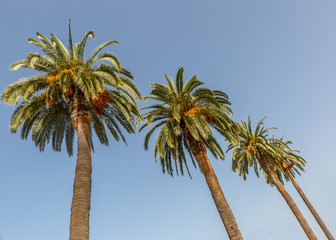 Three palm trees on a beautiful sunny day