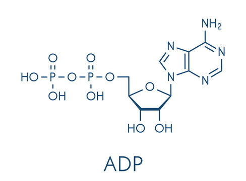 Adenosine diphosphate (ADP) molecule. Plays essential role in energy use and storage in the cell. Skeletal formula.