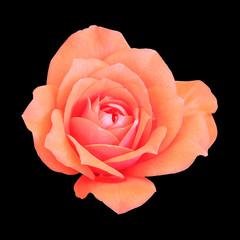 Orange Rose isolated on white background.