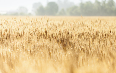 Wheat growing in the fields
