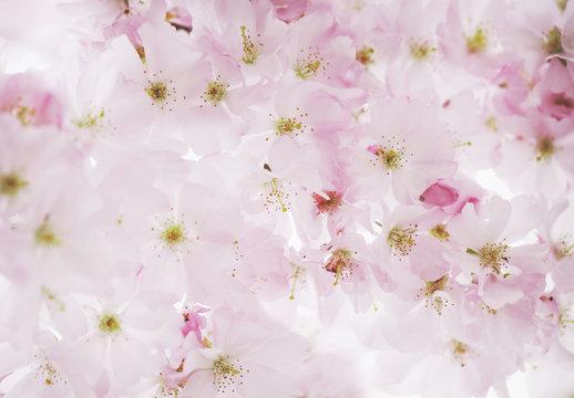 Pastel pink cherry tree flowers pattern