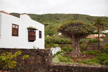 Drago Milenario, Tenerife