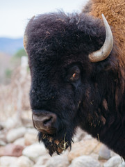 Close up headshot of Bison with sad looking eyes