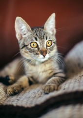 Tabby kitten with amber eyes and big ears