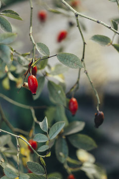 Red ripe rosehips growing on the plant, close up