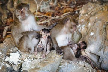 Monkey family on rocks