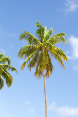 Trunk and leaves of coconut isolated. Background of blue sky.