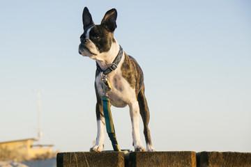Bruce the Boston Terrier/Pug at the Salton Sea, CA