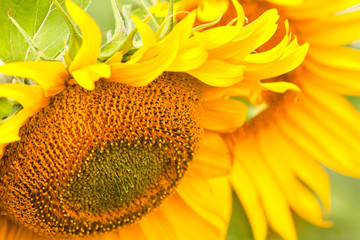 Blossoming sunflowers close-up