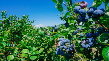 Blueberries farm in harvest season with bunch of ripe fruits on tree at Burlington, Washington, USA. Blueberry picking background.