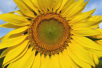 close up yellow sunflower in garden